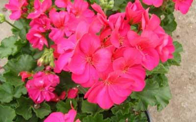 rose geranium essential oil pure