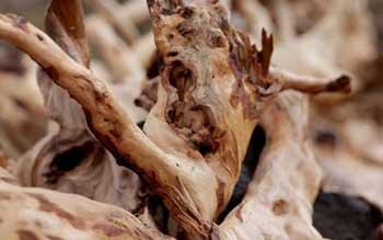 royal sandalwood essential oil pure