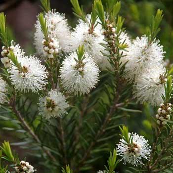 tea tree essential oil pure