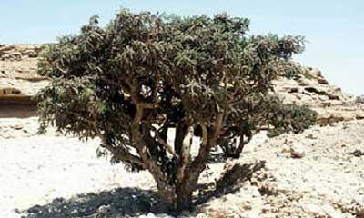 frankincense serrata essential oil pure co2 extract