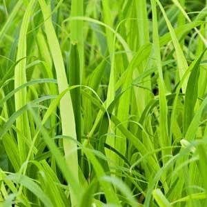 lemongrass essential oil pure