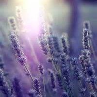 lavender vera essential oil pure