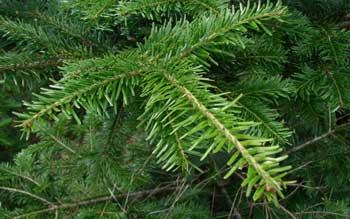 fir silver essential oil pure