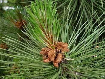 black pine essential oil pure