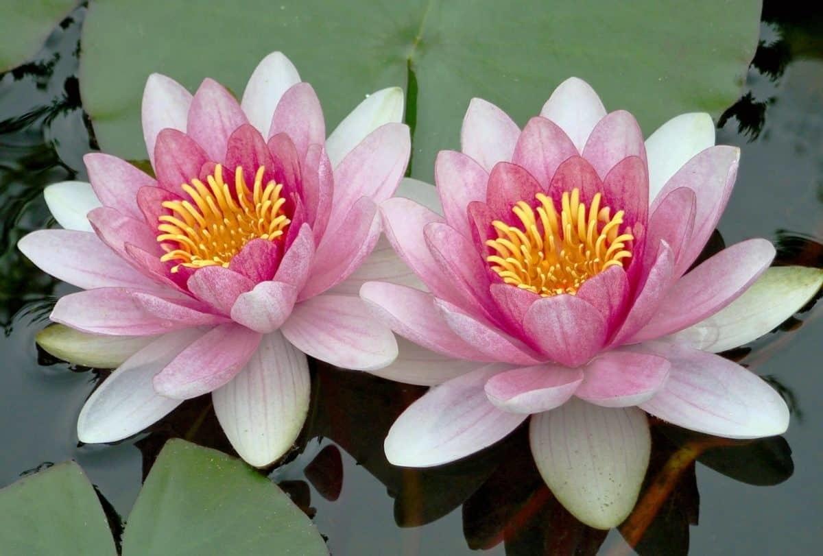 Pink Lotus Absolute Essential Oil Wizardry