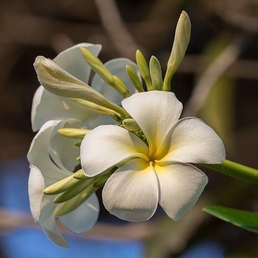 Plumeria Absolute