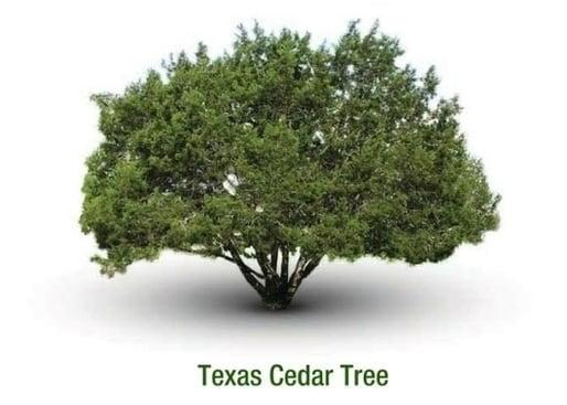 Texas Cedar Essential Oil